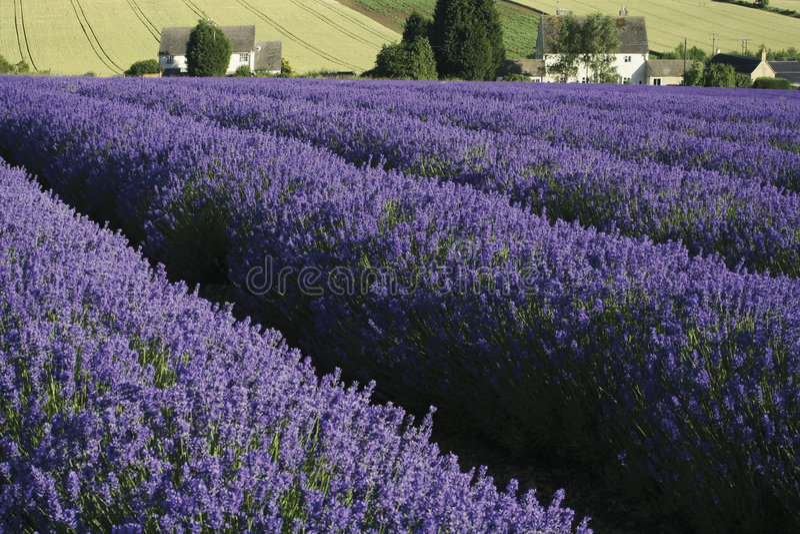 Lavendelfelder lizenzfreie stockbilder