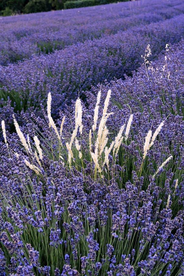 Lavendelfelder des Süd-Frankreichs lizenzfreies stockfoto