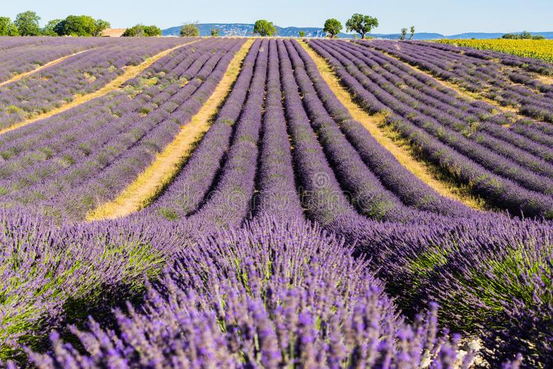 Lavendelfelder im Sommer in Valensole Albes-De-Haute-Provence, Alpen, Frankreich lizenzfreie stockfotografie