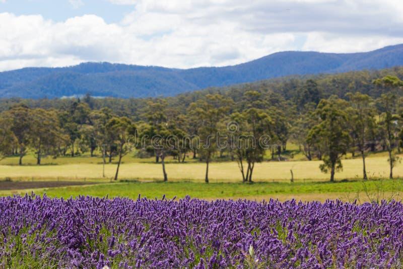 Lavendelfelder mit Rolling Hills und Berge im Hintergrund stockbilder