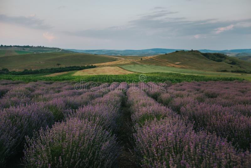 Lavendelfelder am Sonnenuntergang vektor abbildung