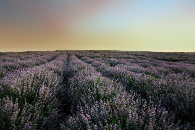 Lavendelfelder am Sonnenuntergang lizenzfreie abbildung