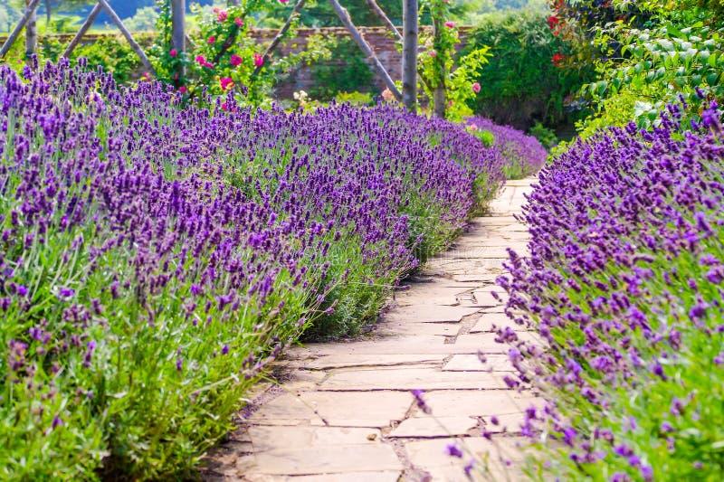 Lavendelgang bij het herenhuis van het land van Polesden Lacey stock afbeelding