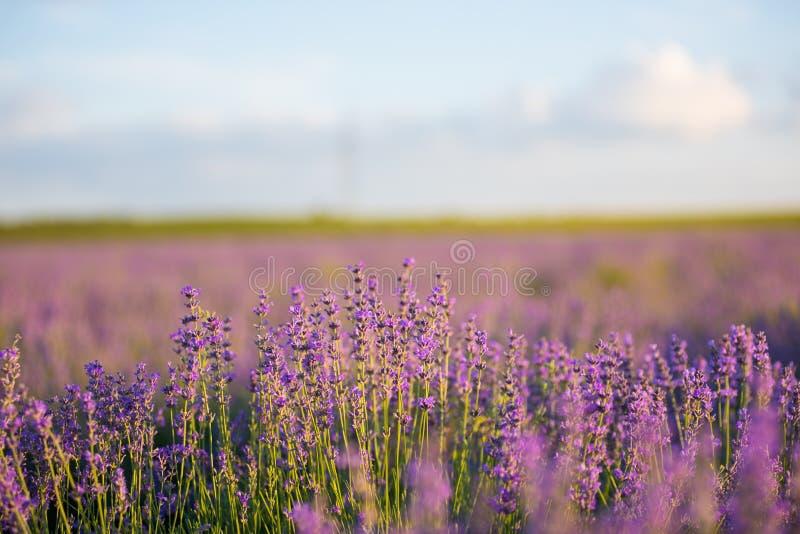 Lavendelgebied bij zonsondergang stock fotografie
