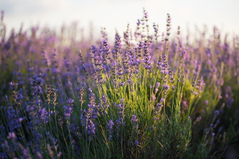 Lavendelgebied bij zonsondergang stock afbeeldingen
