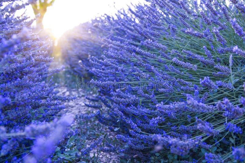 Lavendelgebied bij zonsondergang, Valensole-Plateau de Provence stock foto's