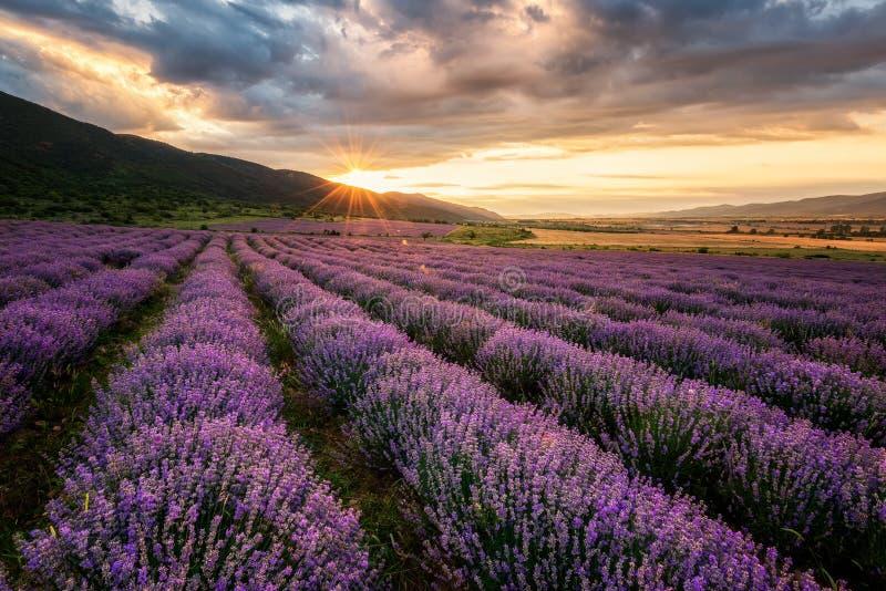 Lavendelgebied bij zonsopgang royalty-vrije stock afbeeldingen