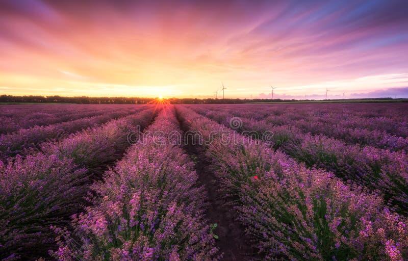 Lavendelgebied bij zonsopgang stock afbeeldingen