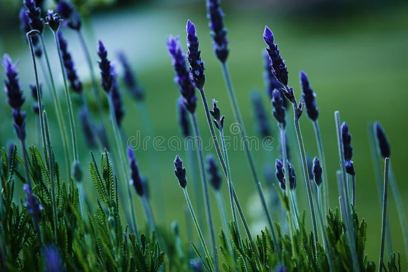 Download Lavendelgebied In De Grote Reserve Stock Foto - Afbeelding bestaande uit aromatherapy, groot: 54075130