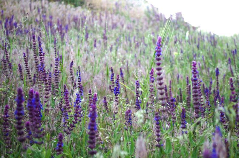 Lavendelgebied in de stralen van de de zomer warme zon royalty-vrije stock fotografie