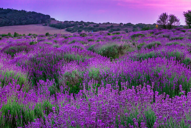 Lavendelgebied in de zomer stock afbeelding