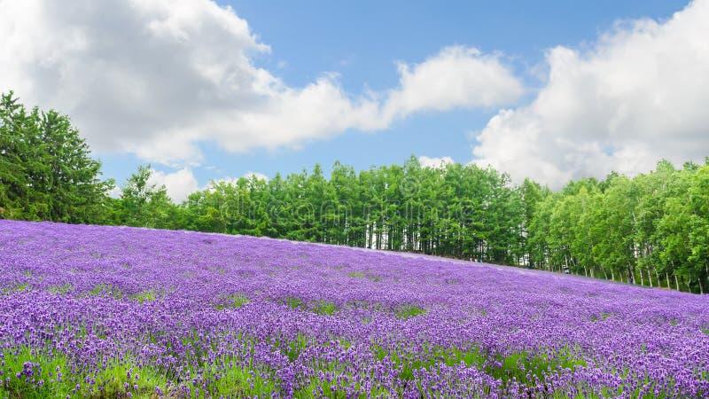 Lavendelgebied in de zomer bij furano Hokkaido royalty-vrije stock foto's