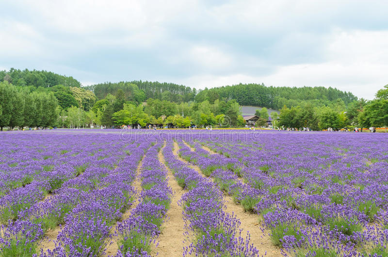Lavendelgebied en blauwe hemel stock foto