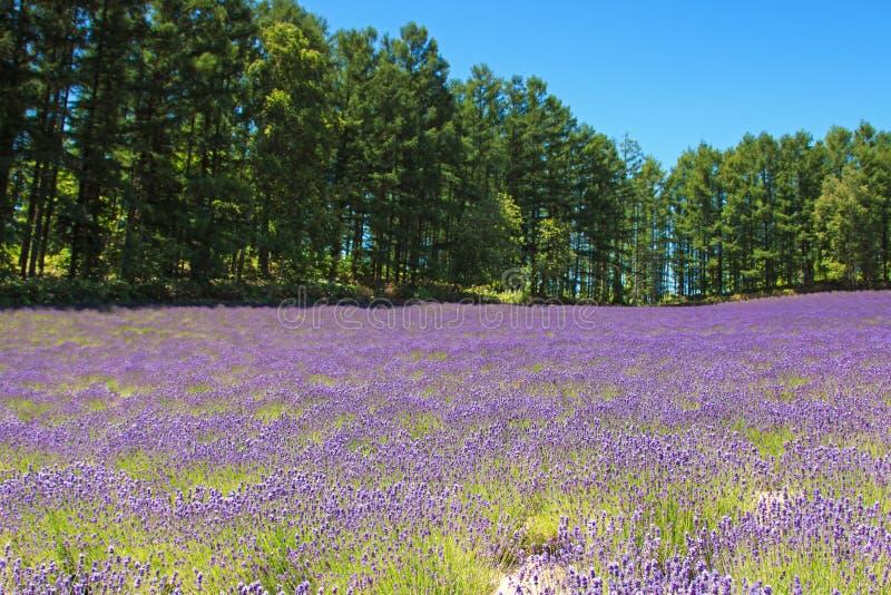 Lavendelgebied in Furano, Hokkaido stock foto's