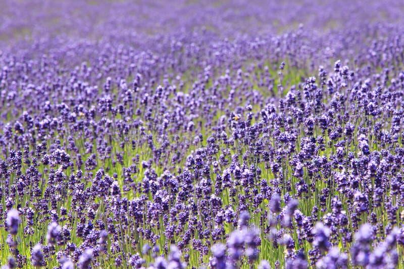 Lavendelgebied in Furano, Hokkaido royalty-vrije stock foto
