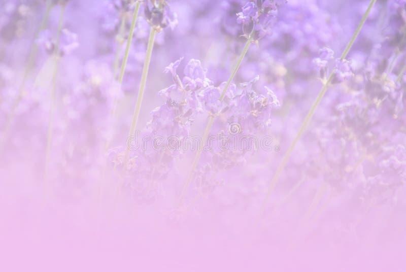 Lavendelgebied im uitstekende toonachtergrond royalty-vrije stock fotografie