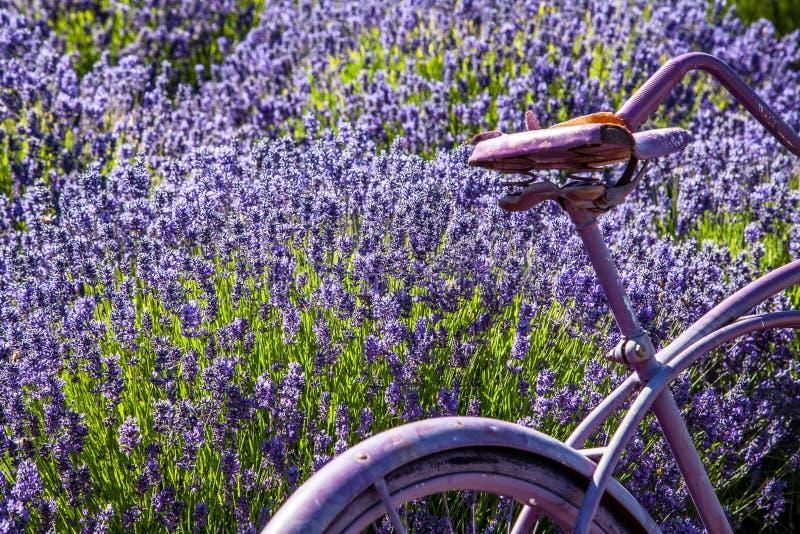 Lavendelgebied met Purpere Uitstekende Fiets stock afbeelding