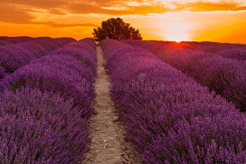 Lavendelgebied op zonsopgang, Valensole-plateau (Frankrijk) stock foto