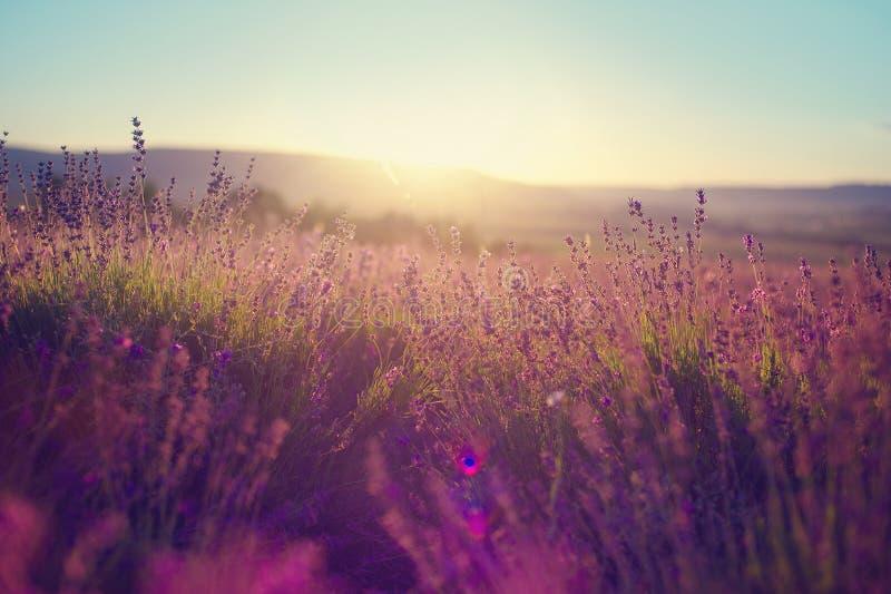Lavendelgebied in Tihany, Hongarije royalty-vrije stock foto