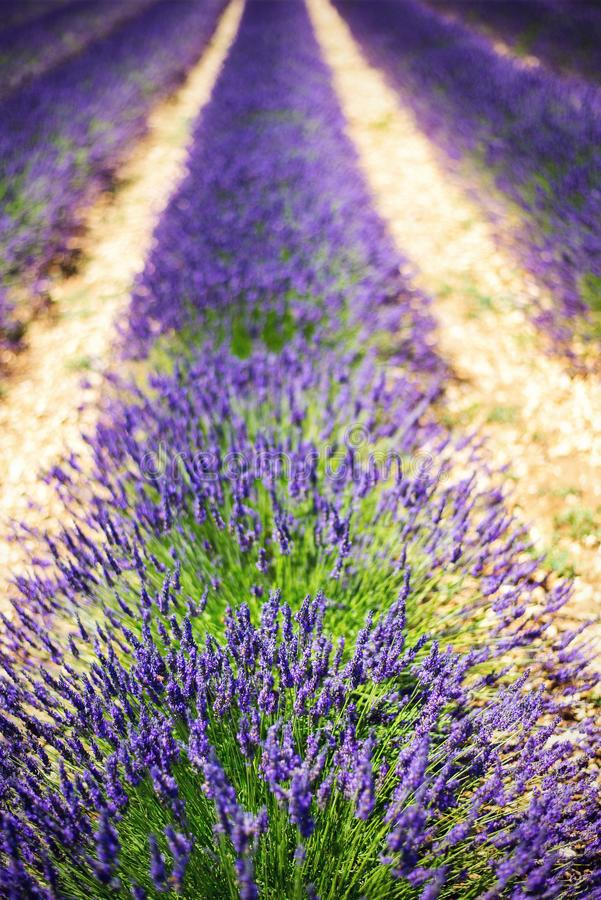 Lavendelgebieden royalty-vrije stock foto