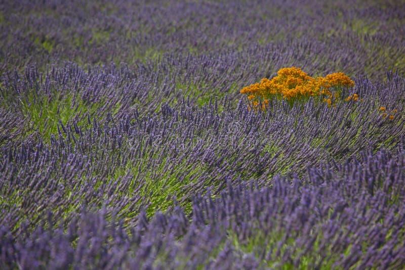 Lavendelgebieden stock afbeeldingen