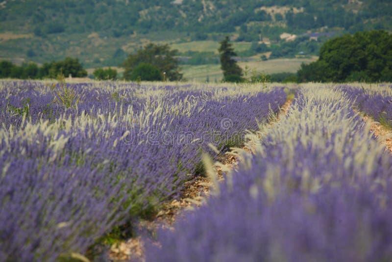 Lavendelgebieden royalty-vrije stock foto's
