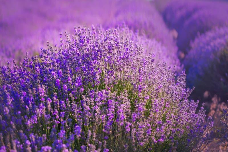 Lavendelgebieden De schoonheid van purpere lavendel Dichte omhooggaand van de lavendelstruik stock foto's