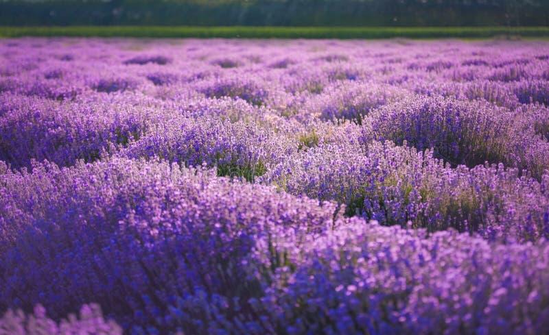 Lavendelgebieden De schoonheid van purpere lavendel royalty-vrije stock foto's