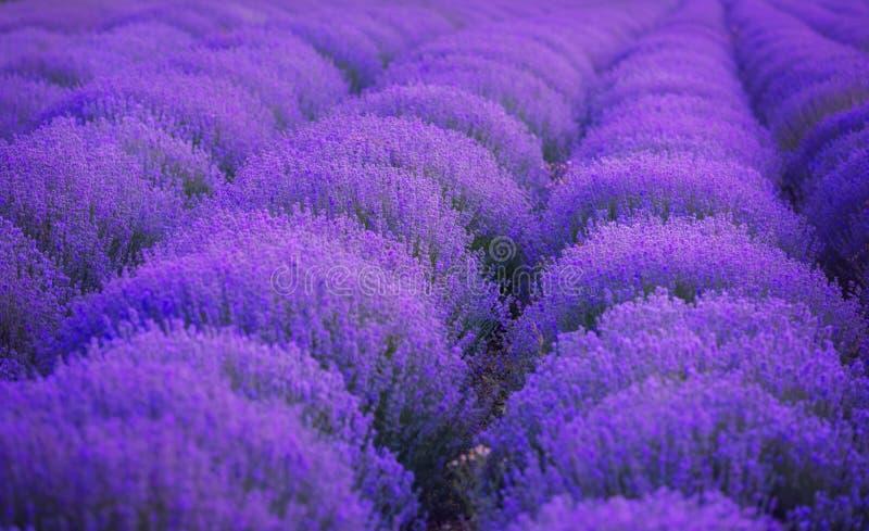 Lavendelgebieden De schoonheid van purpere lavendel royalty-vrije stock afbeelding
