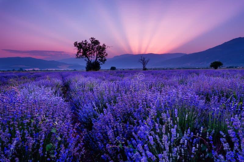 Lavendelgebieden Mooi beeld van lavendelgebied Het landschap van de de zomerzonsondergang, tegenover elkaar stellende kleuren stock afbeelding