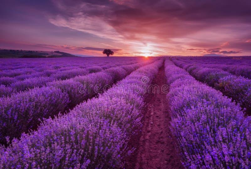 Lavendelgebieden Mooi beeld van lavendelgebied Het landschap van de de zomerzonsondergang, tegenover elkaar stellende kleuren royalty-vrije stock fotografie