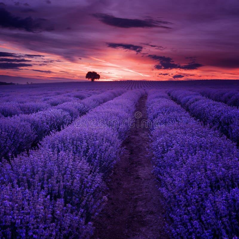 Lavendelgebieden Mooi beeld van lavendelgebied Het landschap van de de zomerzonsondergang, tegenover elkaar stellende kleuren royalty-vrije stock foto