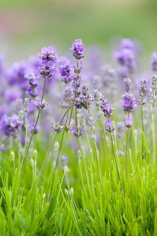 Lavendelhintergrund stockfotografie