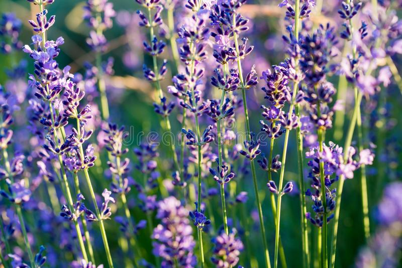 Lavendelinstallatie, groene purpere gebiedsbloemen royalty-vrije stock afbeelding
