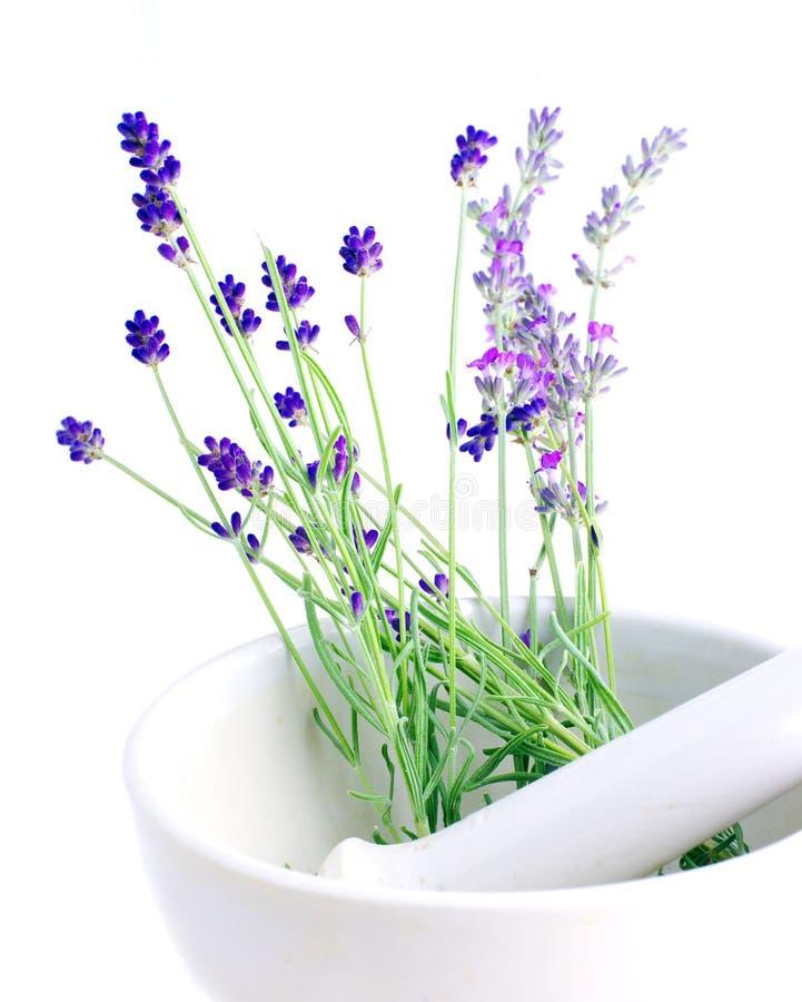 Lavendelkraut stockbild