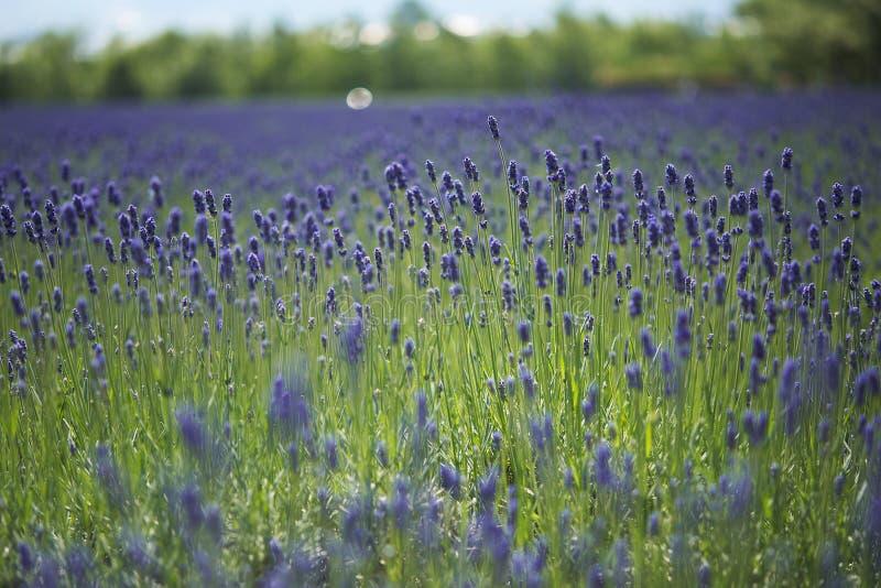 Download Lavendellandbouwbedrijf stock afbeelding. Afbeelding bestaande uit ondiep - 39108985