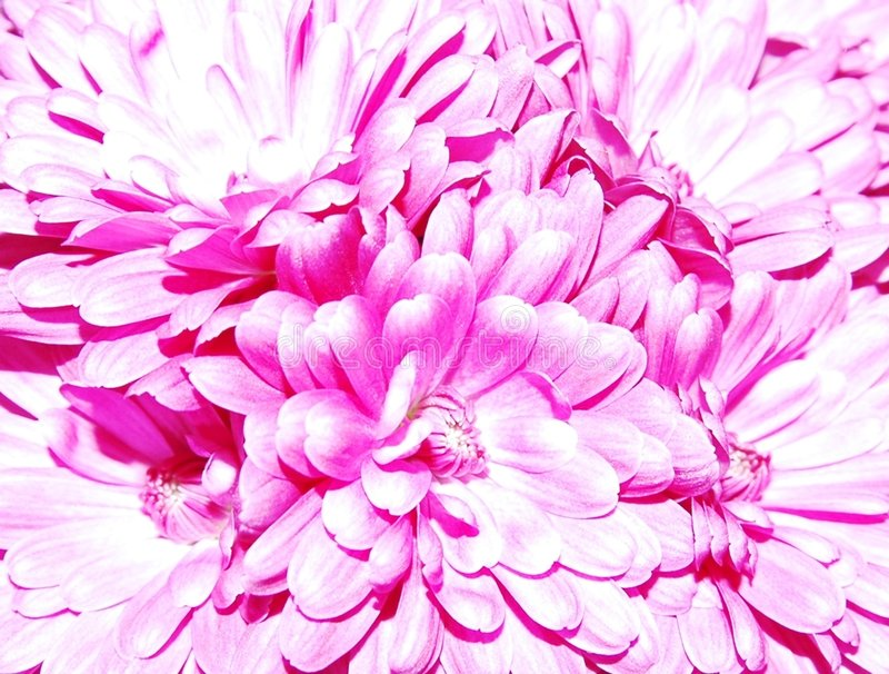lavendelmums royaltyfri fotografi
