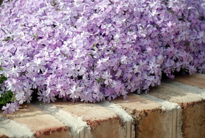 LavendelPhlox lizenzfreie stockfotos