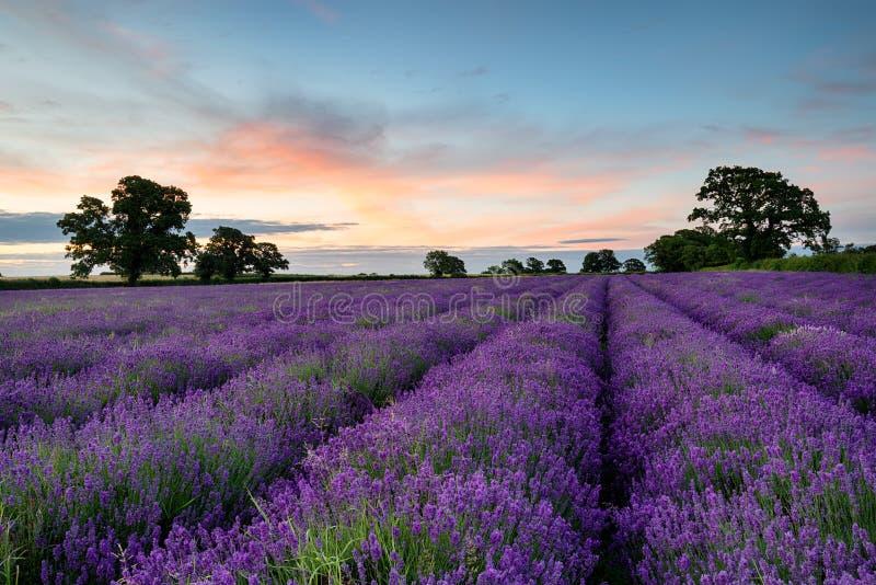 Lavendelrijen royalty-vrije stock fotografie