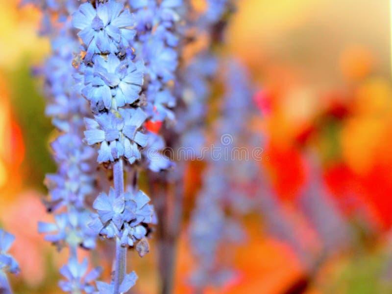 Lavendelsamenvatting stock afbeelding