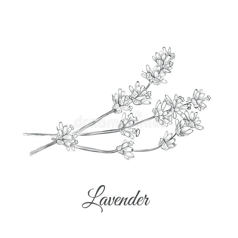 Lavendelskizzen-Vektorillustration lizenzfreies stockbild