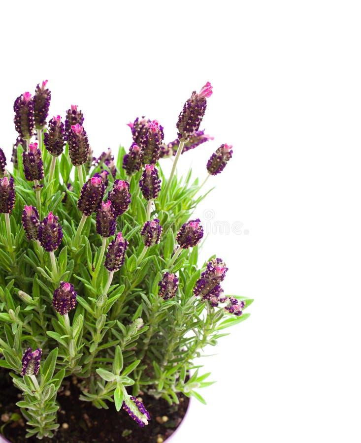 Lavendelstruik in bloempot die op wit wordt geïsoleerd royalty-vrije stock foto
