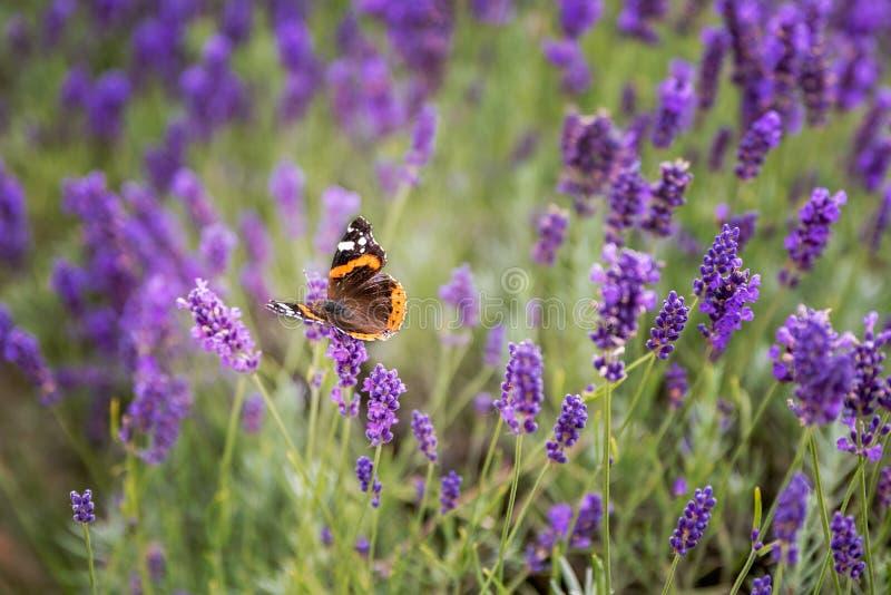 Lavendelstruiken met vlinder stock foto's