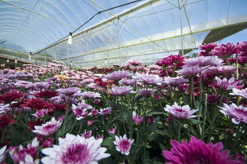 Lavendelträdgård i växthus royaltyfri fotografi
