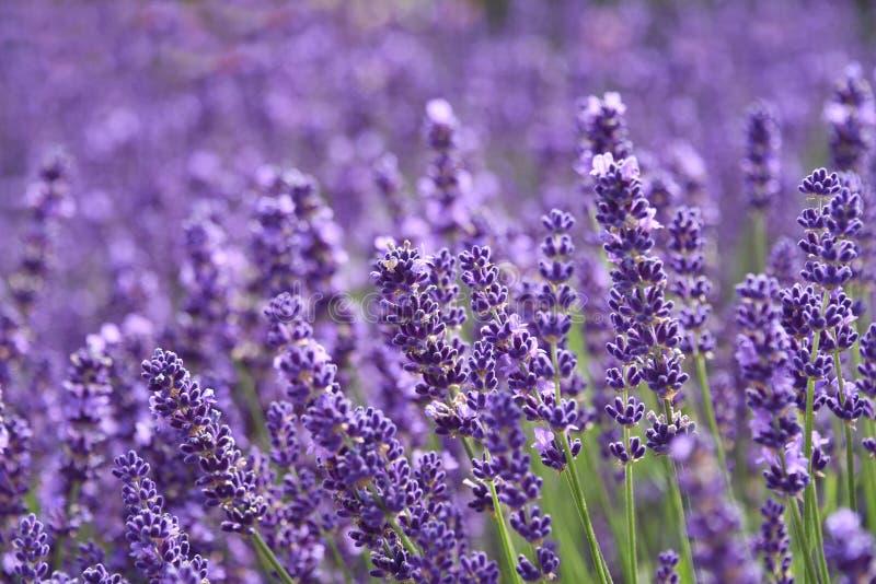 Lavendeltuin royalty-vrije stock foto