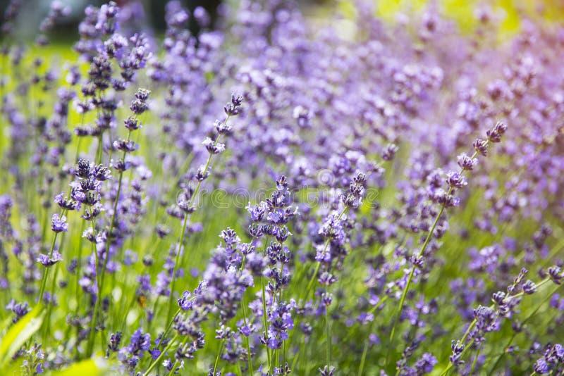 Lavendelväxtblommor på åkerbruk lantgård royaltyfria bilder