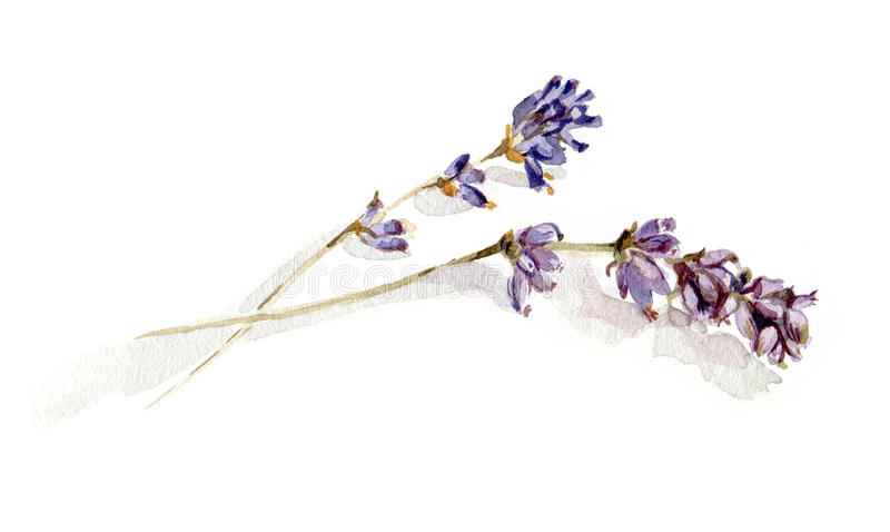 Lavendelzweige stockfoto