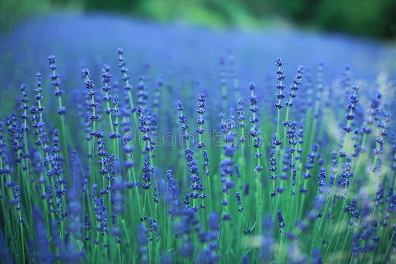 Lavender άνθη στοκ φωτογραφία με δικαίωμα ελεύθερης χρήσης