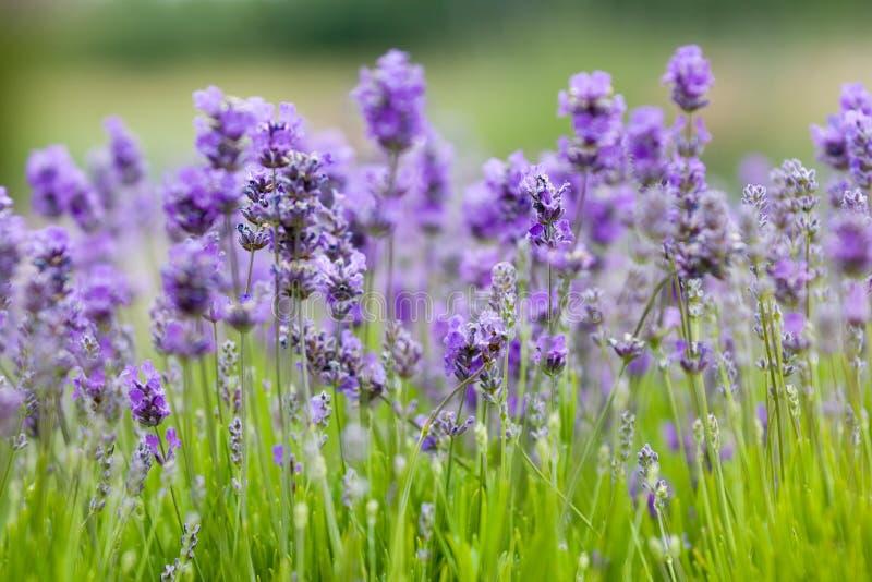lavender ανασκόπησης στοκ εικόνα με δικαίωμα ελεύθερης χρήσης