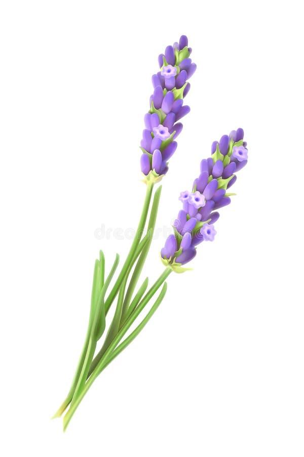 Lavender ανθίζει τη διανυσματική απεικόνιση διανυσματική απεικόνιση